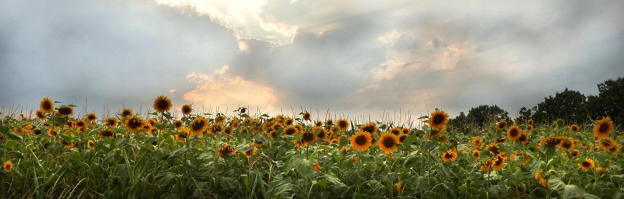 Summer sky above a field of sunflowers.