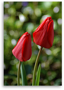 two-tulips--2012
