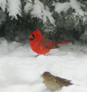 A cardinal in snow
